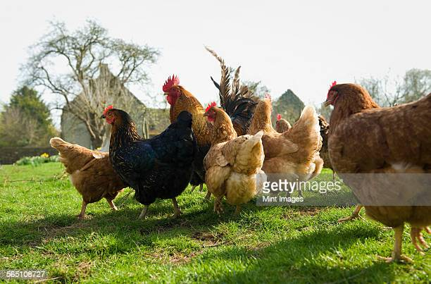 A small flock of hens in a paddock.