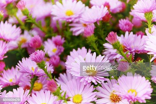 Pequeno Jardim Astra flores. : Foto de stock