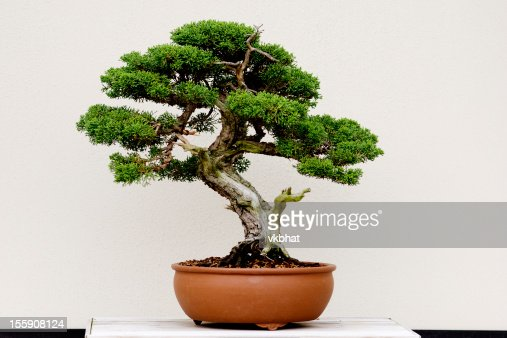 Small green bonsai tree in a brown plant pot