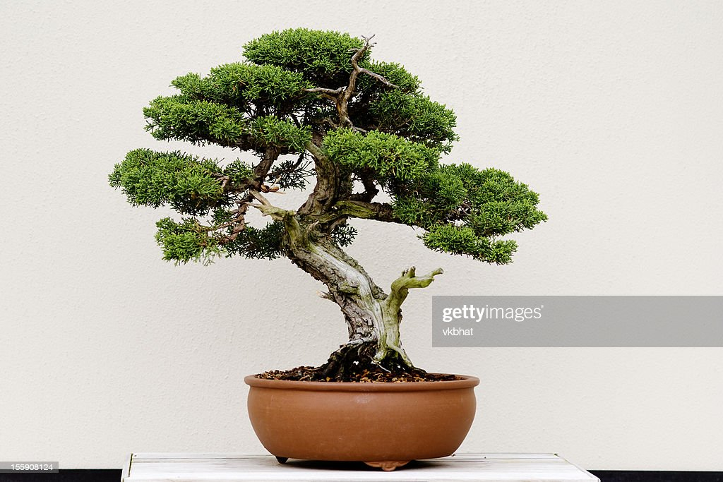 Small Bonsai Tree Isolated On White Royalty Free Stock Image ...