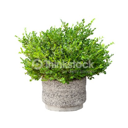 Small green decorative bush growing in pod isolated on white : Stock Photo