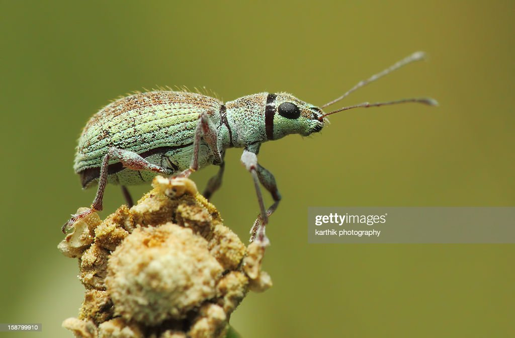 Small Green Leaf  Weevil : Stock Photo