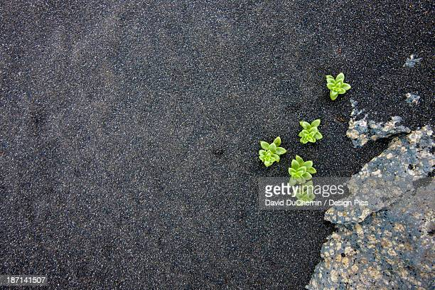 Small Green Plants Growing In The Black Silt