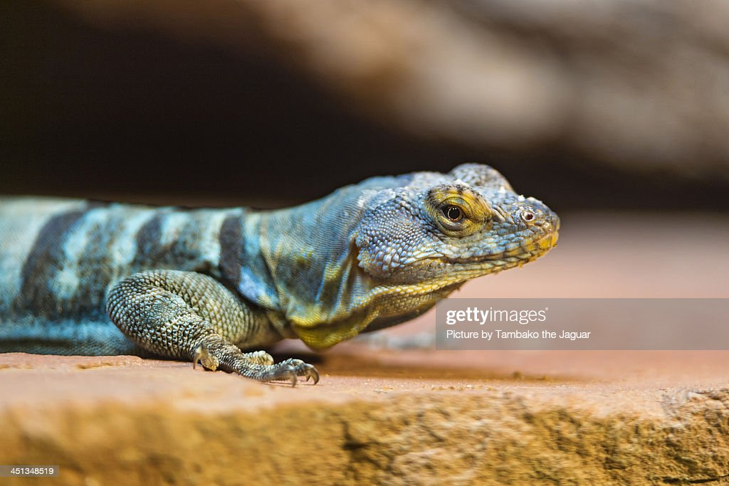 Small green striped reptile : Stock Photo