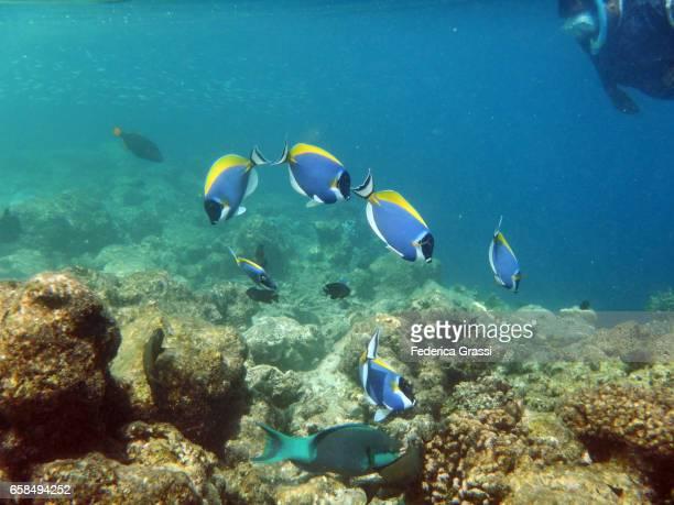 Small Group of Blue Tang Fish