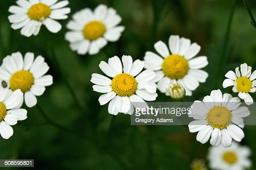 A small group of daisies