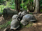 Small Group of Giant Tortoises of the Seychelles