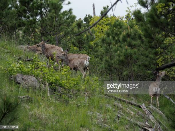 Small Group of Mule Deer in the Black Hills of South Dakota