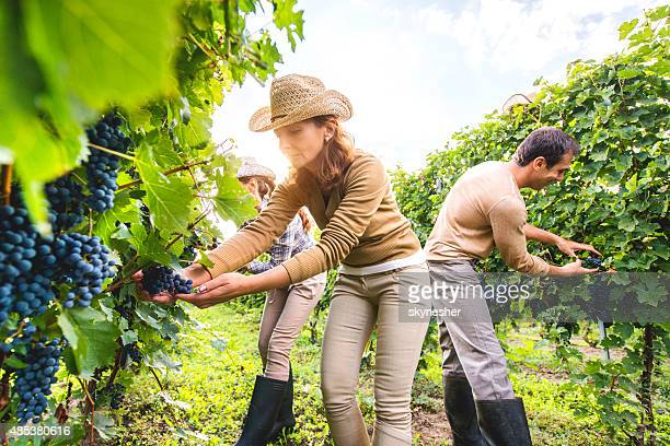 Small group of people picking grapes in vineyard.