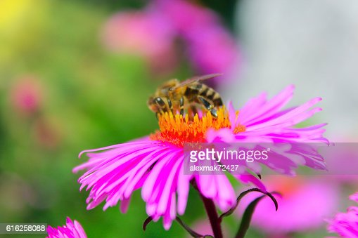 small hardworking bee on the aster : Foto de stock