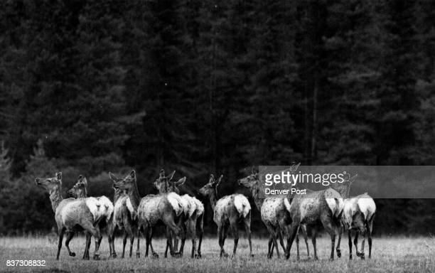 A small here of Elk down from the mountains to feed on spring grass in the meadows of Rocky Mountain National Park trots warily toward the timber...