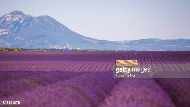 Small house in Provence lavender field