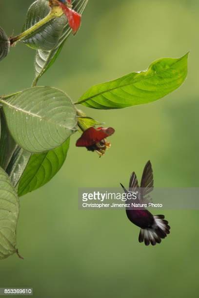 Small hummingbird in flight feeding from flowers