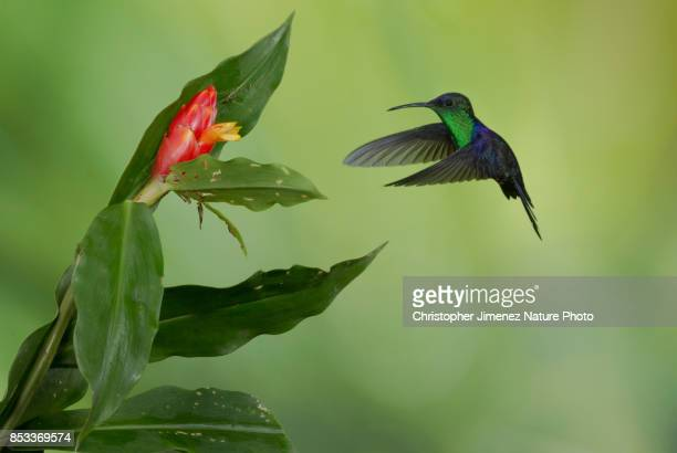 Small hummingbird in flight feeding from flowers with purple color