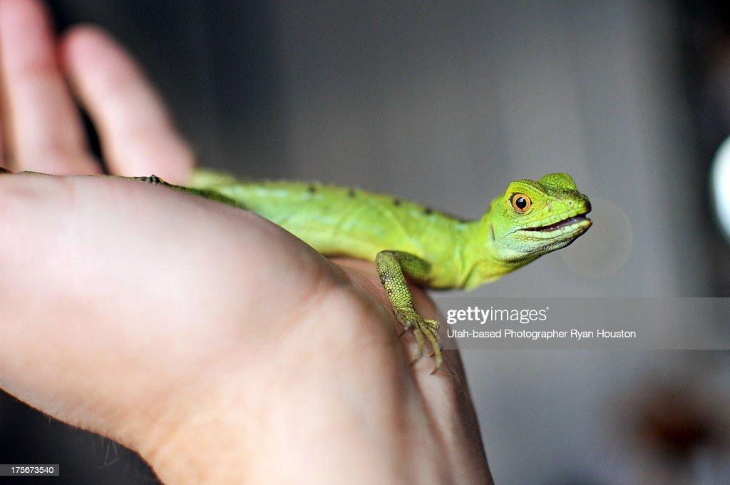 Small Iguana on Child's Hand : Stock Photo