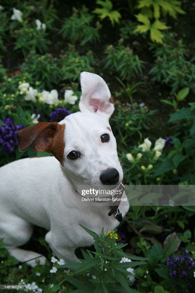 Small Jack Russell dog looking at camera : Stock Photo