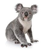 Small koala sitting on white background