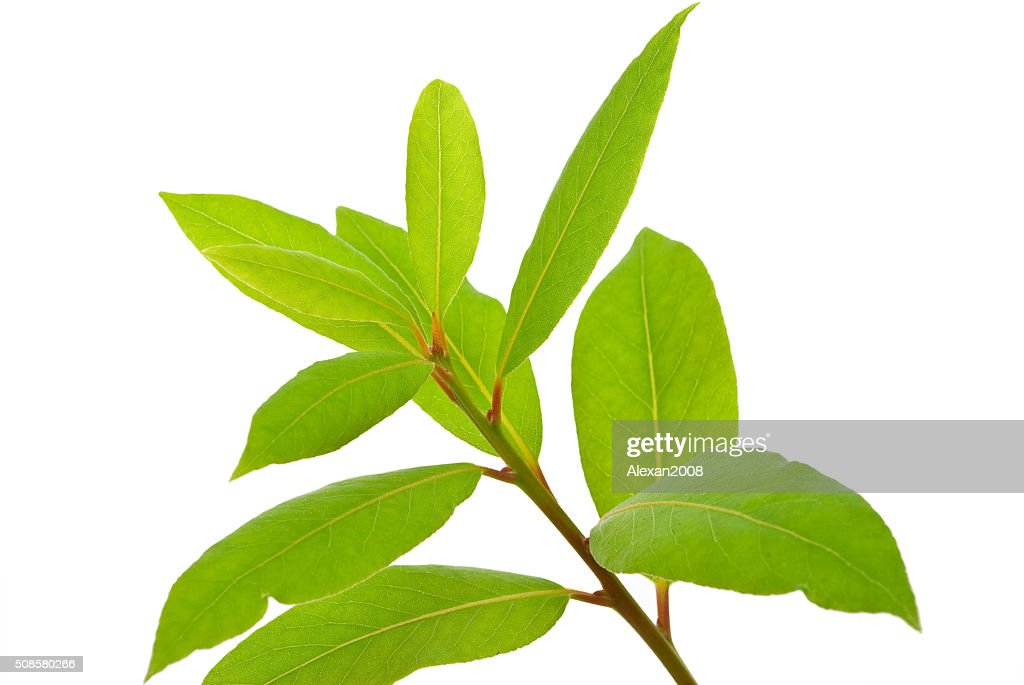 Small laurel tree : Stock Photo