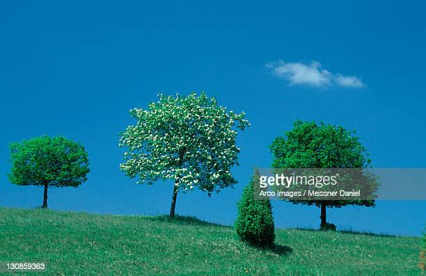 Small Leafed Limes and Rowan Ash, Baden-Wurttemberg, Germany / (Tilia cordata), (Sorbus aucuparia) / Mountain Ash
