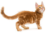 Small Maine Coon kitten, isolated on white background