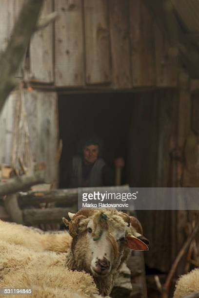 A small mountain farm in Serbia, ram and old lady at the stable entrance