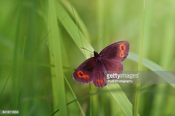 A small mountain Ringlet (Erebia epiphron) butterfly