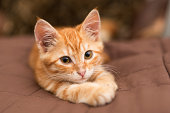 Little orange kitten lie on the bed with brown blanket and looking at the camera.