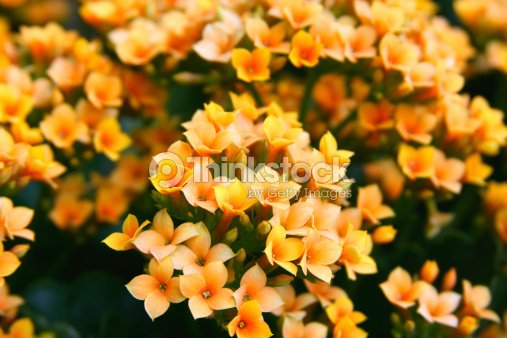 Small orange yellow flowers stock photo thinkstock small orange yellow flowers kalanchoe mightylinksfo