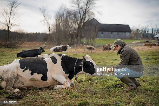 A small organic dairy farm with a mixed herd of cows and goats.