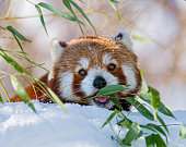 Small panda eating in the snow