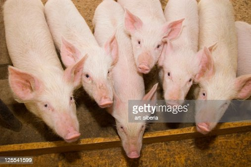 Small pig on a farm : Stock Photo