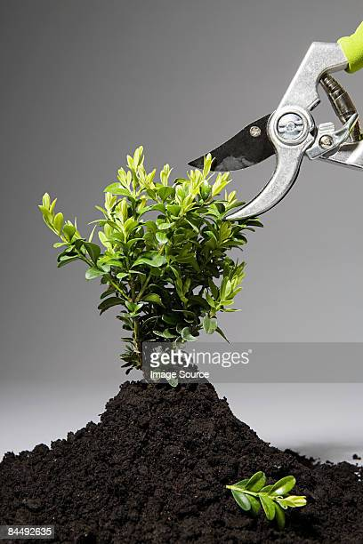 Small plant being pruned