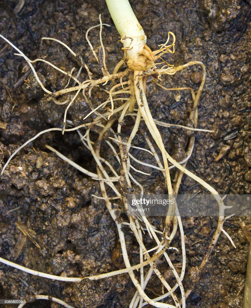 small plant root in soil : Stock Photo