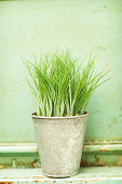 Small potted wheatgrass plant