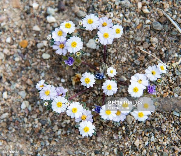 Small purple flowers grow among white desert star for Best flowers to grow in california