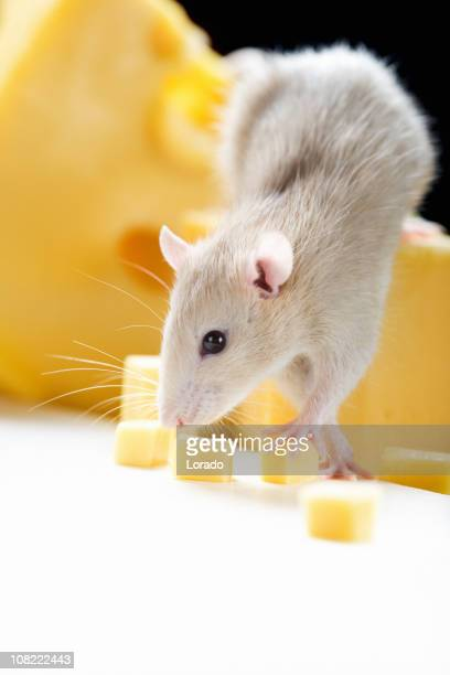 Small Rat and Cheese