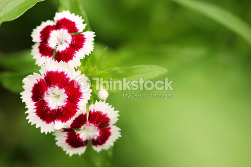 Small red and white flowers close up stock photo thinkstock small red and white flowers close up stock photo mightylinksfo