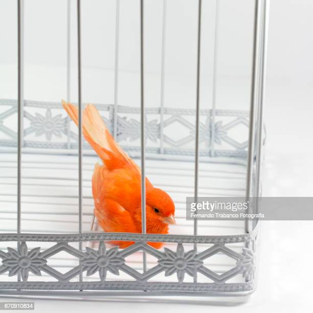Small red canary bird trapped in cage with no freedom. Animal Prison