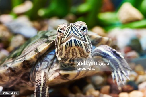 Small red-ear turtle : Stock Photo