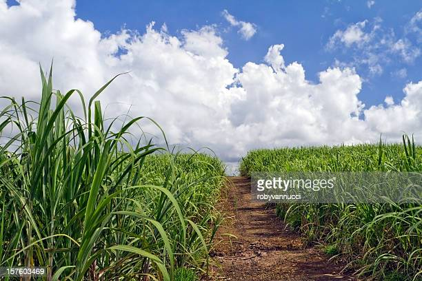 Small rural road crossing sugar cane fields towards white clouds