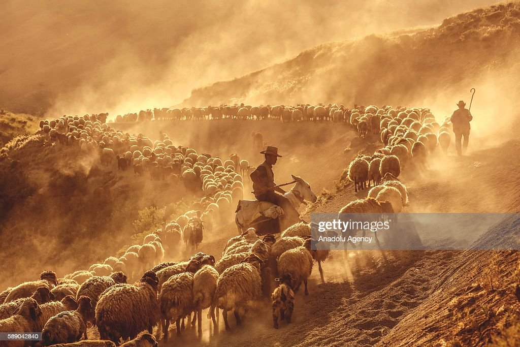 Small sheep brought by shepherds for milking to Kiyiduzu village travel among the dust through the tablelands of Mount Nemrut during sunset in the...