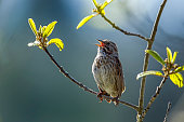 A small song sparrow is perched on a branch in Idaho.