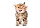 Small striped kitten breed British marble, isolated on white