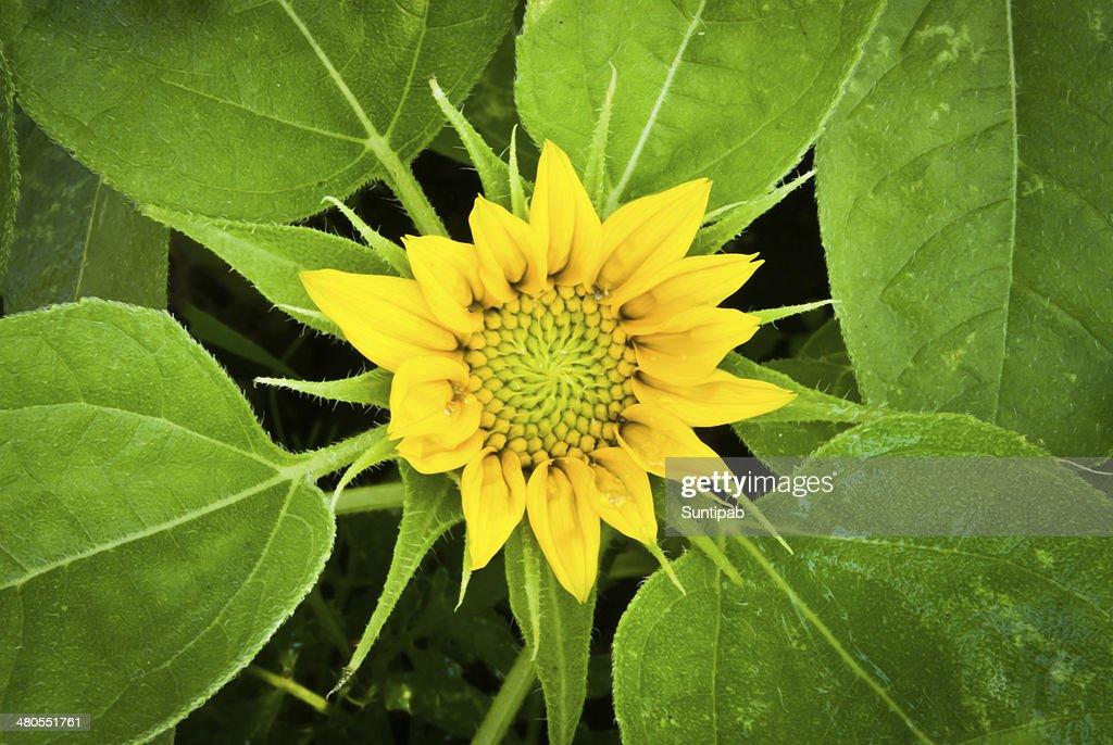 Small sunflower : Stock Photo