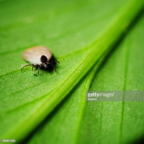 Small tick crawling on a green leaf