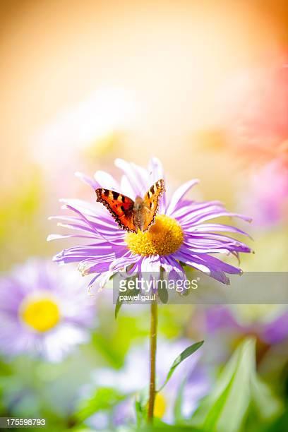 Aglais Urticae pollinating no Prado flor da margarida-dos-campos