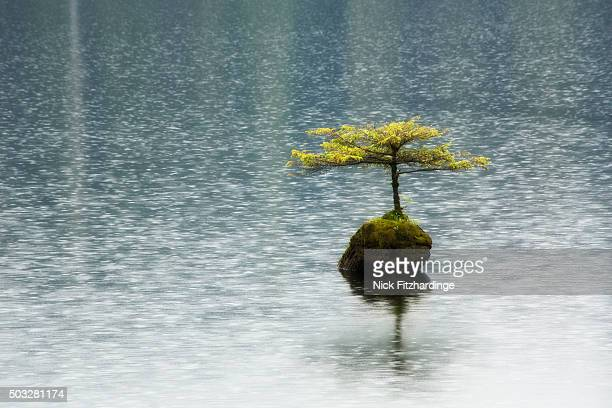 A small tree growing out of a submerged stump in Fairy Lake with light rain coming down, Port Renfrew, British Columbia, Canada