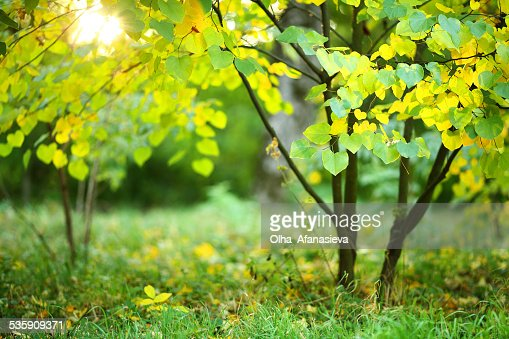Small tree with green and yellow leaves in the sunlight : Stock Photo