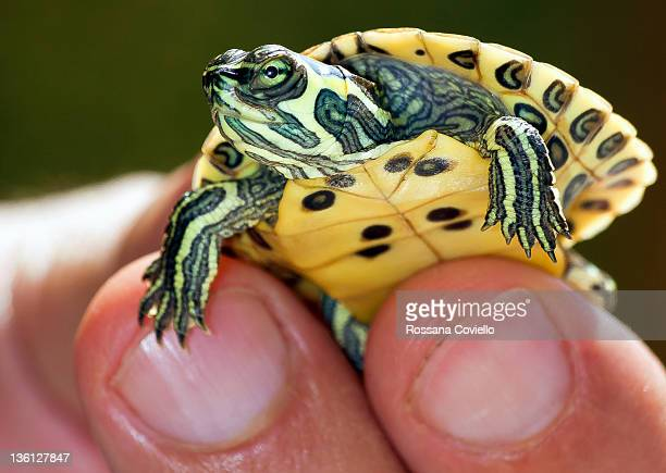 Small turtle between fingers