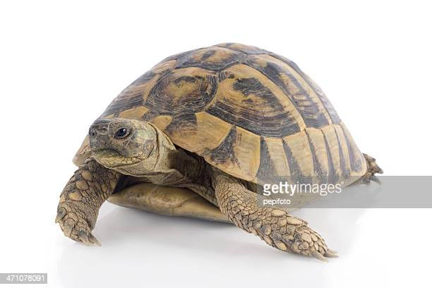 Small turtle isolated on white surface